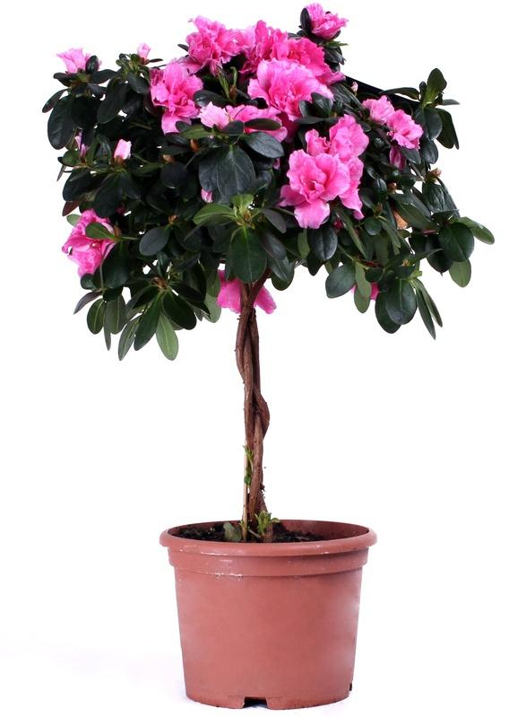 Комнатный цветок азалия уход и фото