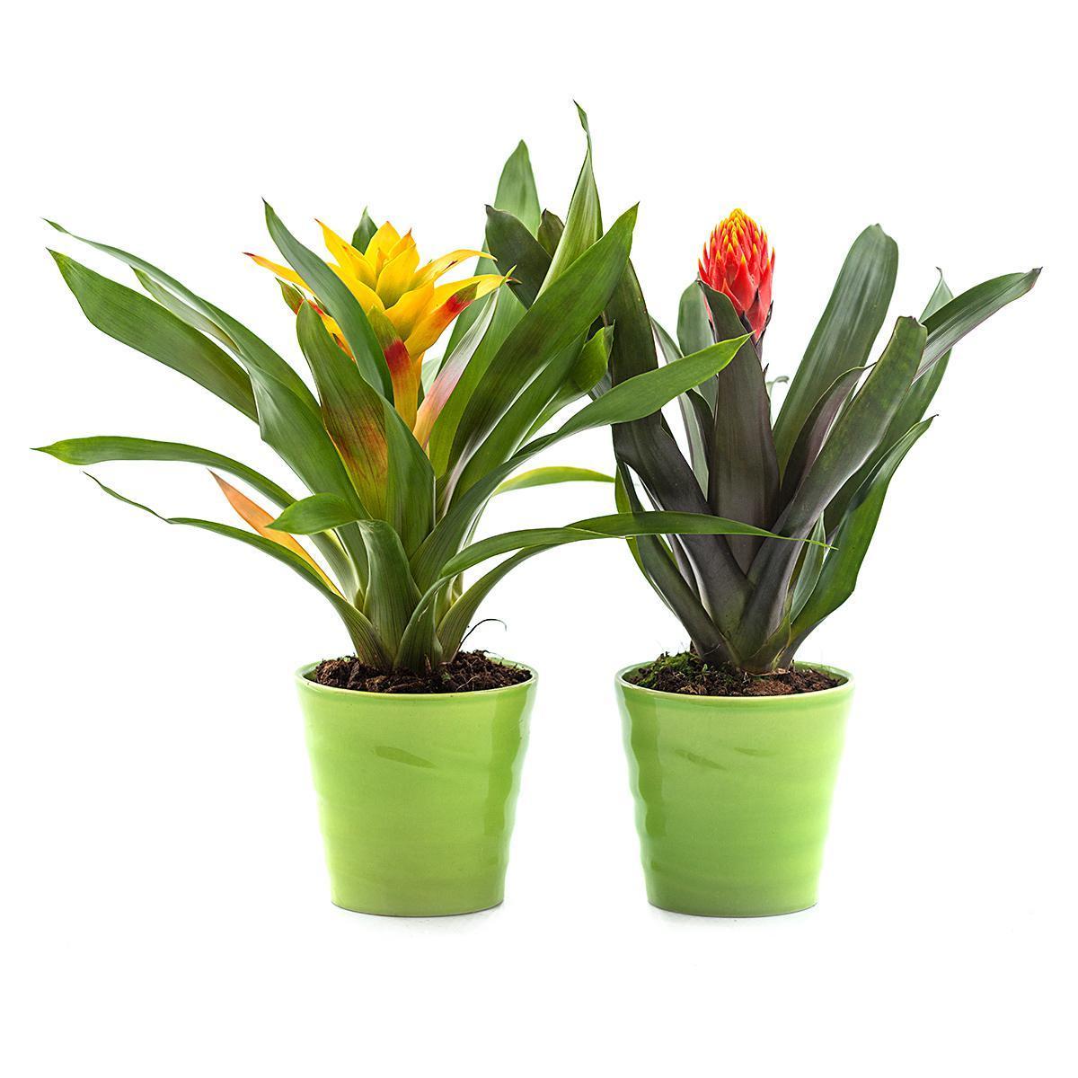 Комнатные цветы фото и названия гузмания уход бромелиевые